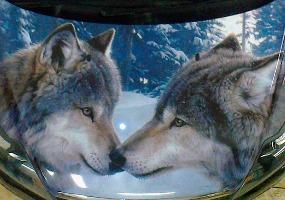Два волка на капоте. Аэрография - фото.